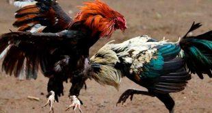 Señalan que la alcaldía de Tepeji del Río viola ley al prohibir pelea de gallos