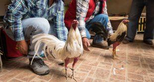 Piden analizar sin corazón iniciativa propelea de gallos